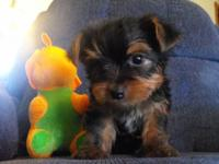 This is Dandy. He is an adorable Yorkshire Terrier