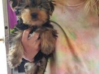 I have 1 male Akc yorkie pup left and available today.
