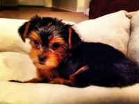 2 AKC MALE YORKIE PUPPIES LEFT! UP TO DATE ON SHOTS,