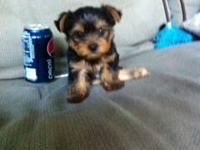 have two AKC male yorkies tails docked dew claws