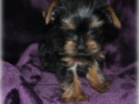AKC male yorkies $800 utd on shots and worming dob is