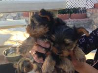 Tiny adorable yorkies only two remaining out of five.