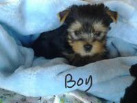 1 beautiful male yorkies will be ready 18th of Nov mom