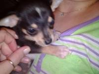 Akc Chihuahua puppies ready for their forever home dob
