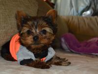 I have a adorable akc male yorkie he is 10 weeks old