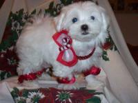 AKC, PUREBREED Maltese Puppies. Excellent Breeding,