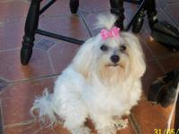 AKC, PUREBREED Maltese Female. 4Years old, looking to