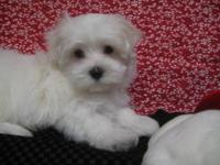 Meet our beautiful AKC Maltese male puppy named Massey.