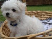 Gorgeous Maltese Puppies. Both parents have champion