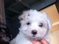 akc maltese pure breed maltese males and females ready