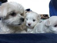 Registered Mlatese puppies, 11 weeks old by tomorrow,