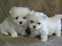maltese AKC reg pups one boy and one girl still