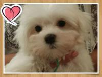 Beautiful maltese puppies purebred with Akc papers in