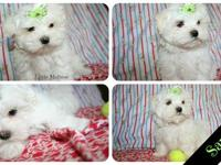 We have two AKC male Maltese puppies available to