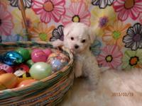 AKC Maltese Puppy Male Avery 1400.00 Avery is an AKC