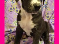 Rogue is a 7 week old mismarked mantle great dane