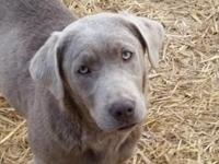 AKC Master Hunter Bloodline Labrador Retriever Puppies,
