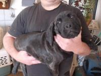 1 AKC black brindle lady left. She is 12 weeks (since