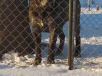 AKC and DNA 'd adult male. Gorgeous dark brindle 6yrs