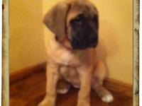 We have a 10 week female mastiff pup ready for her new