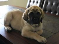 AKC English Mastiff Girl. Great creases. Ideal looking