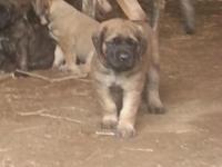 AKC Mastiff puppies born April 13th, ready to go on
