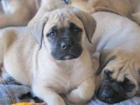 We have a great selection of Adorable Mastiff puppies