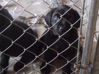 Dogs are AKC English Mastiffs. 2 black brindle females