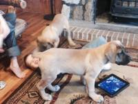 AKC registered mastiff puppies smart beautiful dogs