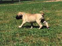 I have a beautiful Akc litter of Mastiff puppies Ready