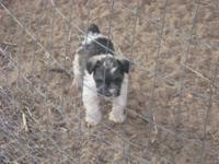 WE have two male parti schnauzers that will mature at