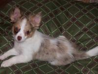 AKC Long coat, 4-1/2 month old female. Born 12/05/12.