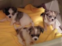 AKC Merle male chihuahua young puppies. Dew claws are