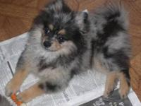 Gorgeous AKC blue merle with tan markings puppy. I had