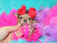 Gorgeous plaything AKC lengthy layer Merle chihuahua