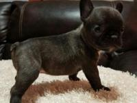 Awesome French Bulldog Puppies Now Available for new