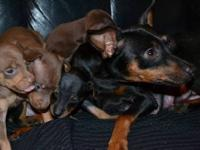 AKC Registered miniature pincher puppies are ready for
