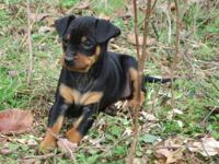 Miniature Pinscher(not pincher) pups born on 10/3/13