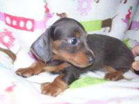 AKC Mini Dachshund  Female she is 11 weeks old and