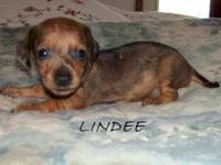 Lindee has a smooth coat of red dapple. She will be
