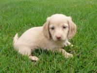 This precious little AKC reg. Cream long hair boy is a