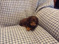 AKC long haired mini dachshund. 8 weeks old and ready