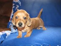 AKC MINI MALE RED DAPPLE SMOOTH COAT. Born 10-29-12.
