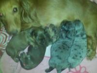 AKC Dachshund puppies Only 2 puppies left. These