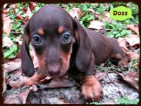 Beautiful dachshund puppies born on October and soon