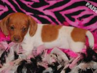 These beautiful babies are AKC reg. and current on