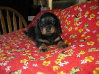 Adorable long hair dachshund. 1 black & tan male, 1 red