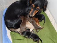 FIVE beautiful little Dachshund boys born February 26,