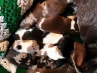 Akc Miniature Dachshund Puppies have arrived! Taking