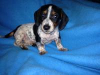 This black & tan piebald mini Dachshund male is looking